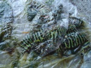 キアゲハ幼虫7.jpg