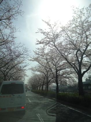 紫川の桜2.jpg