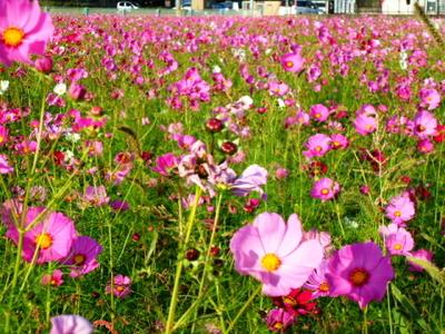 秋桜2.jpg